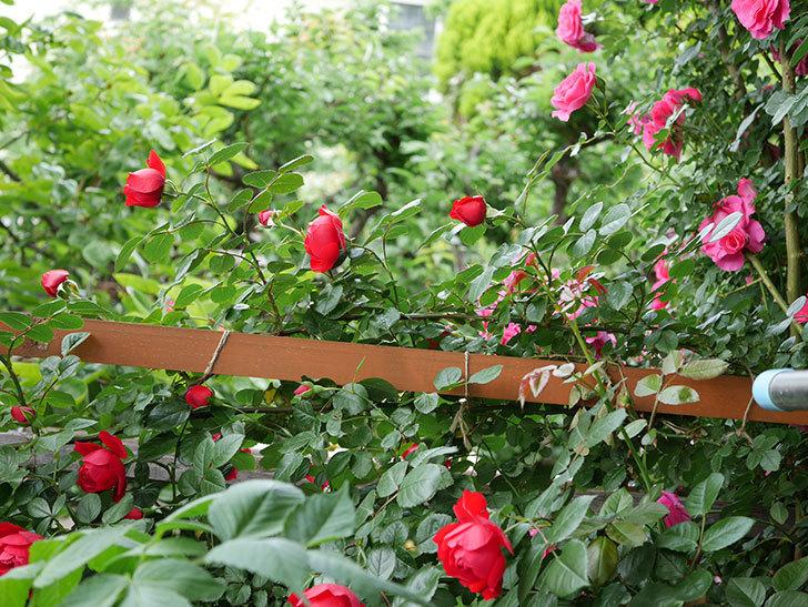 フロレンティーナ(ツルバラ)の花が増えて来た。2018年-15.jpg