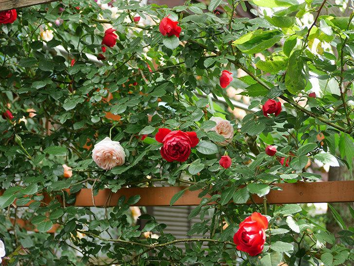 フロレンティーナ(ツルバラ)の花が増えて来た。2018年-18.jpg