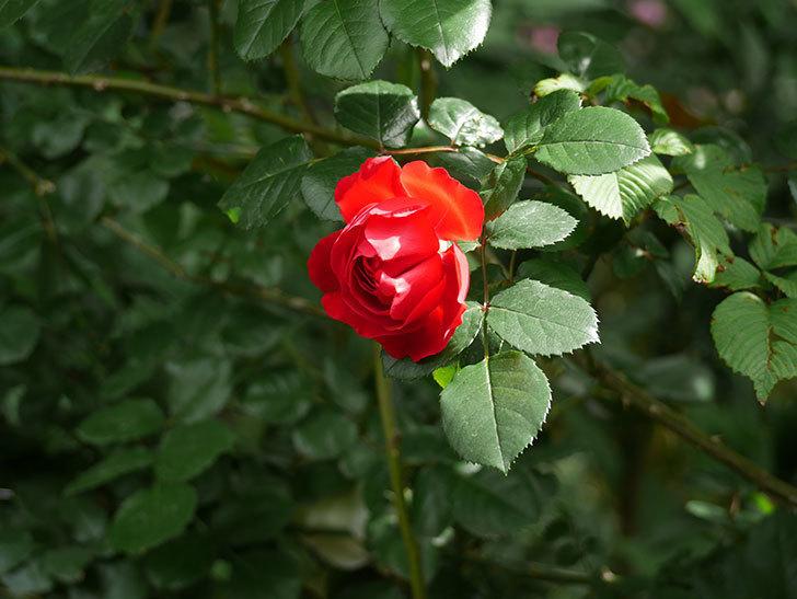 フロレンティーナ(ツルバラ)の花が増えて来た。2018年-19.jpg