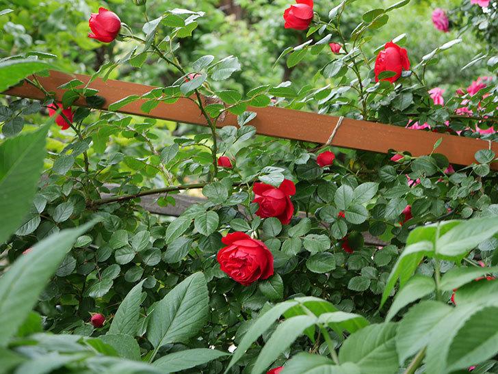 フロレンティーナ(ツルバラ)の花が増えて来た。2018年-7.jpg