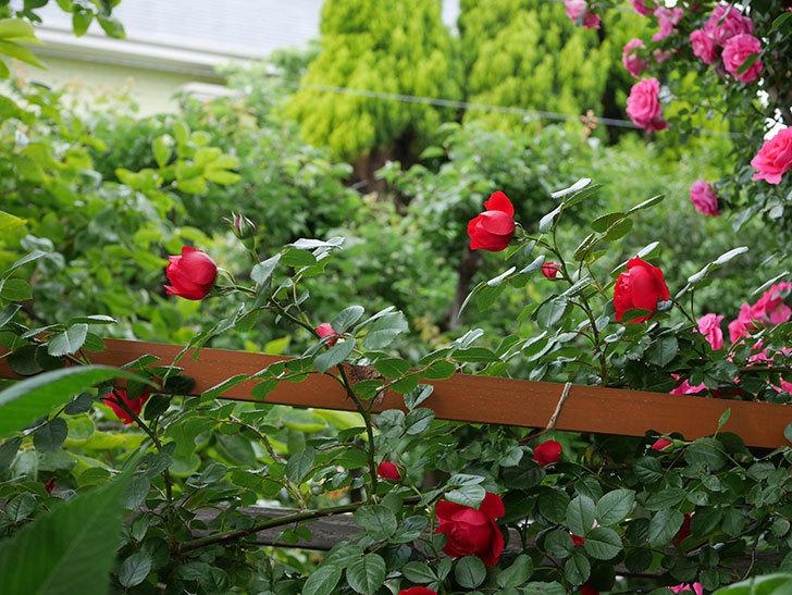 フロレンティーナ(ツルバラ)の花が増えて来た。2018年-8.jpg