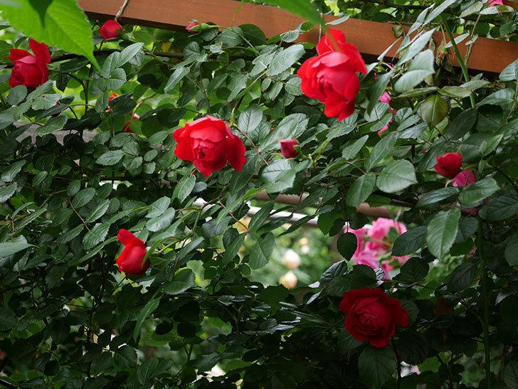 フロレンティーナ(ツルバラ)の花が増えて来た。2018年-9.jpg