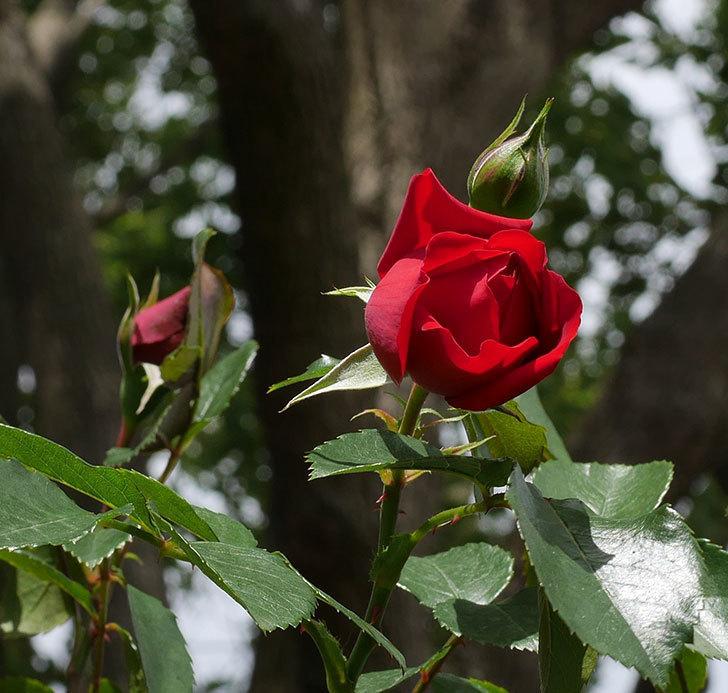 フロレンティーナ(ツルバラ)の花が増えて来た。2019年-10.jpg