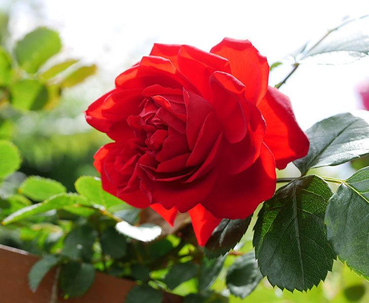 フロレンティーナ(ツルバラ)の花が増えて来た。2019年-11.jpg