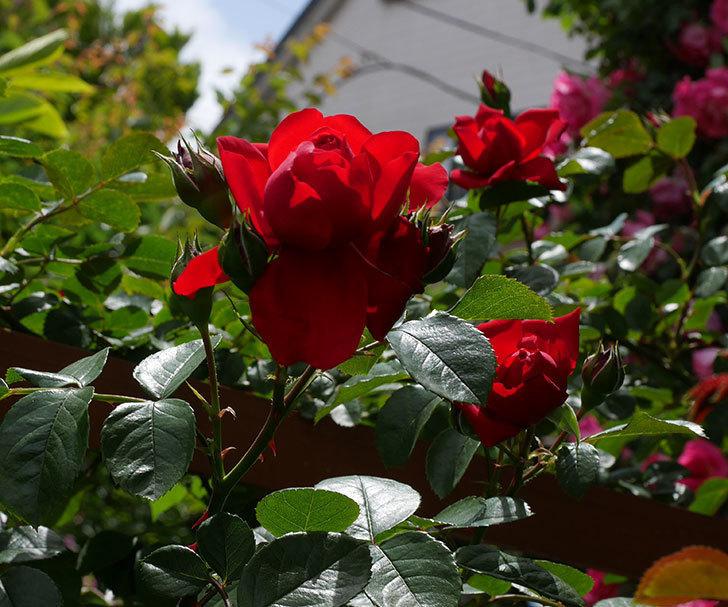 フロレンティーナ(ツルバラ)の花が増えて来た。2019年-12.jpg
