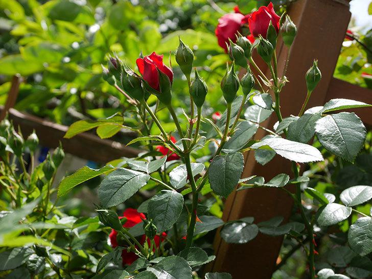 フロレンティーナ(ツルバラ)の花が増えて来た。2019年-13.jpg