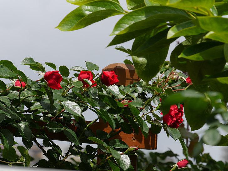 フロレンティーナ(ツルバラ)の花が増えて来た。2019年-2.jpg