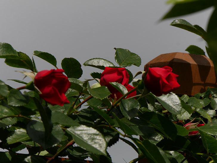 フロレンティーナ(ツルバラ)の花が増えて来た。2019年-3.jpg