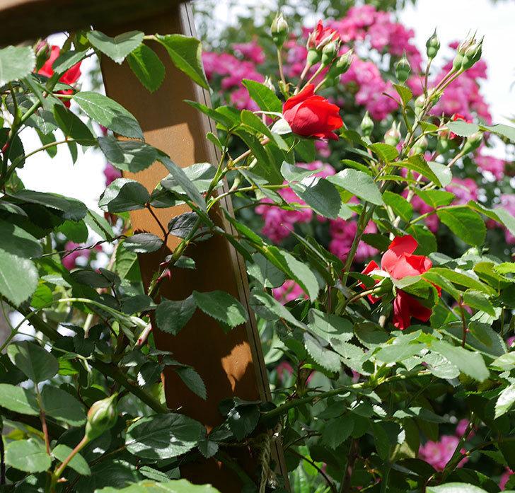 フロレンティーナ(ツルバラ)の花が増えて来た。2019年-4.jpg