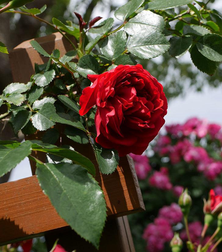 フロレンティーナ(ツルバラ)の花が増えて来た。2019年-5.jpg