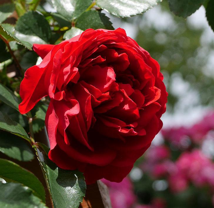 フロレンティーナ(ツルバラ)の花が増えて来た。2019年-6.jpg