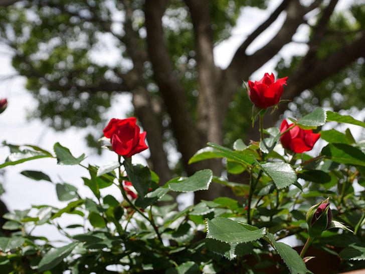 フロレンティーナ(ツルバラ)の花が増えて来た。2019年-8.jpg