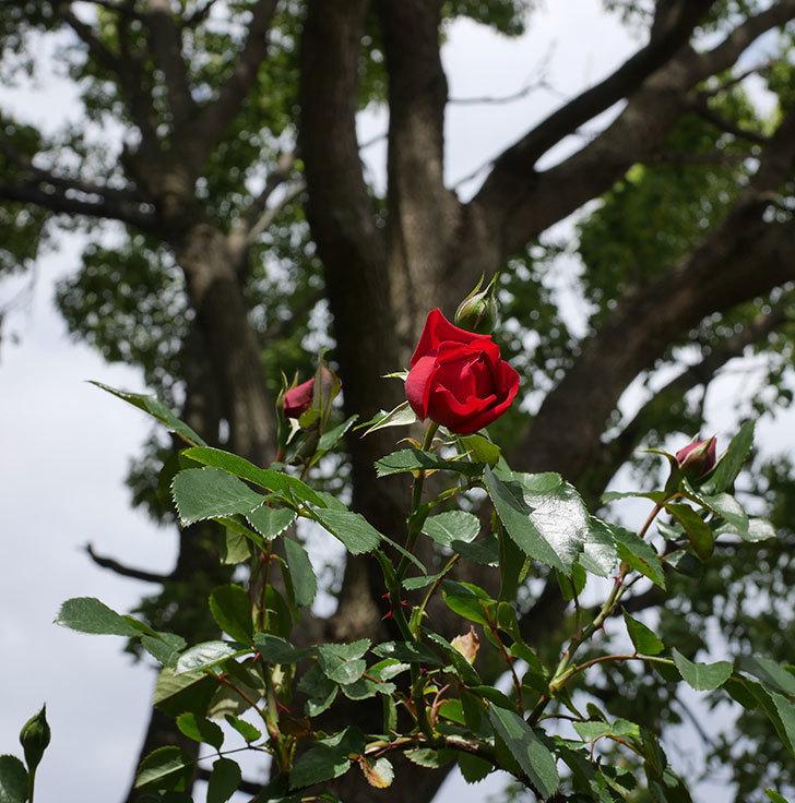 フロレンティーナ(ツルバラ)の花が増えて来た。2019年-9.jpg
