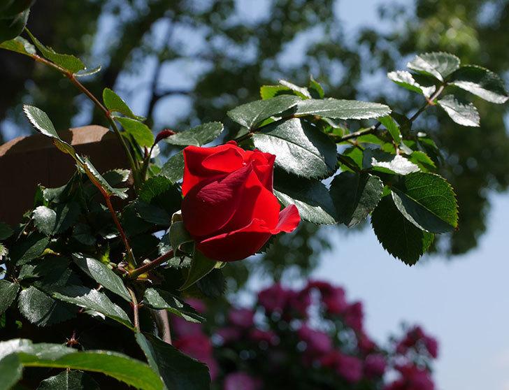 フロレンティーナ(ツルバラ)の花が少し咲いた。2019年-1.jpg