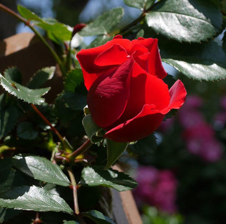 フロレンティーナ(ツルバラ)の花が少し咲いた。2019年-2.jpg