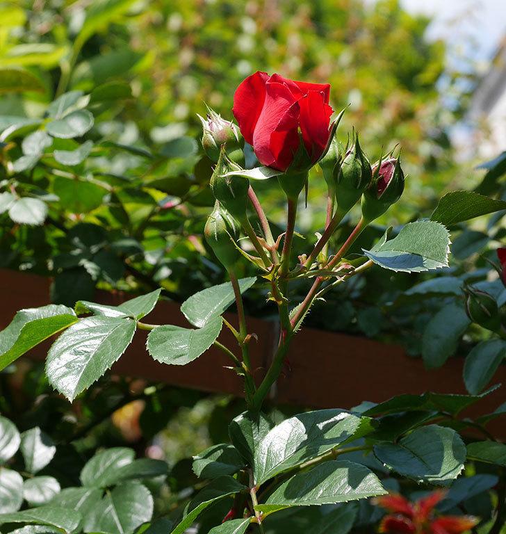 フロレンティーナ(ツルバラ)の花が少し咲いた。2019年-3.jpg
