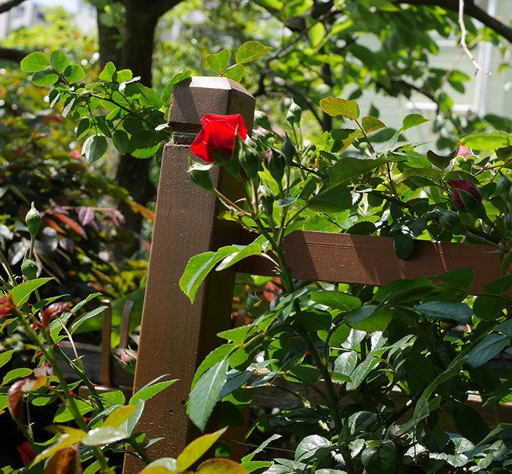 フロレンティーナ(ツルバラ)の花が少し咲いた。2019年-5.jpg