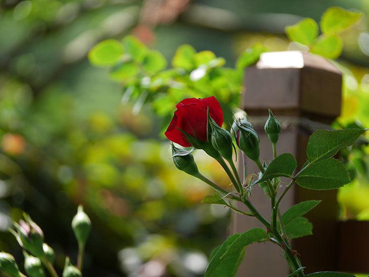 フロレンティーナ(ツルバラ)の花が少し咲いた。2019年-7.jpg