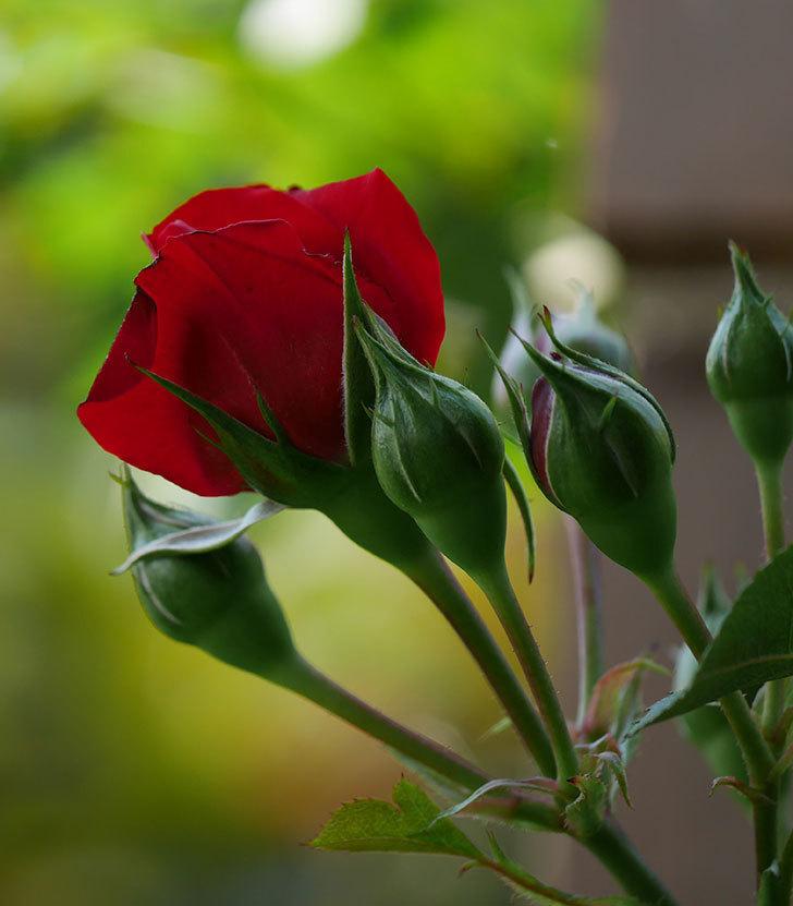 フロレンティーナ(ツルバラ)の花が少し咲いた。2019年-8.jpg