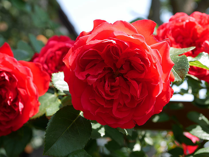 フロレンティーナ(ツルバラ)の花が更に咲いた。2019年-10.jpg