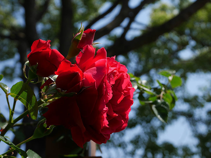 フロレンティーナ(ツルバラ)の花が更に咲いた。2019年-12.jpg