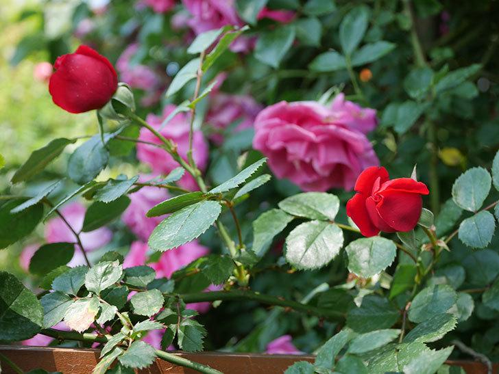 フロレンティーナ(ツルバラ)の花が更に咲いた。2019年-17.jpg