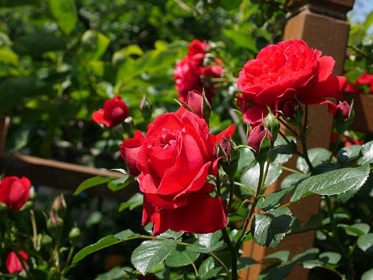 フロレンティーナ(ツルバラ)の花が更に咲いた。2019年-19.jpg
