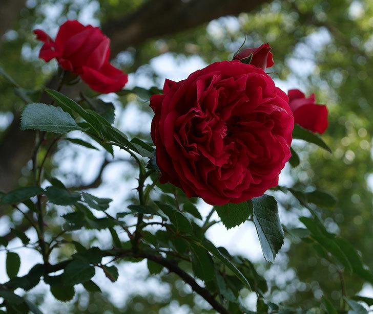 フロレンティーナ(ツルバラ)の花が更に咲いた。2019年-2.jpg