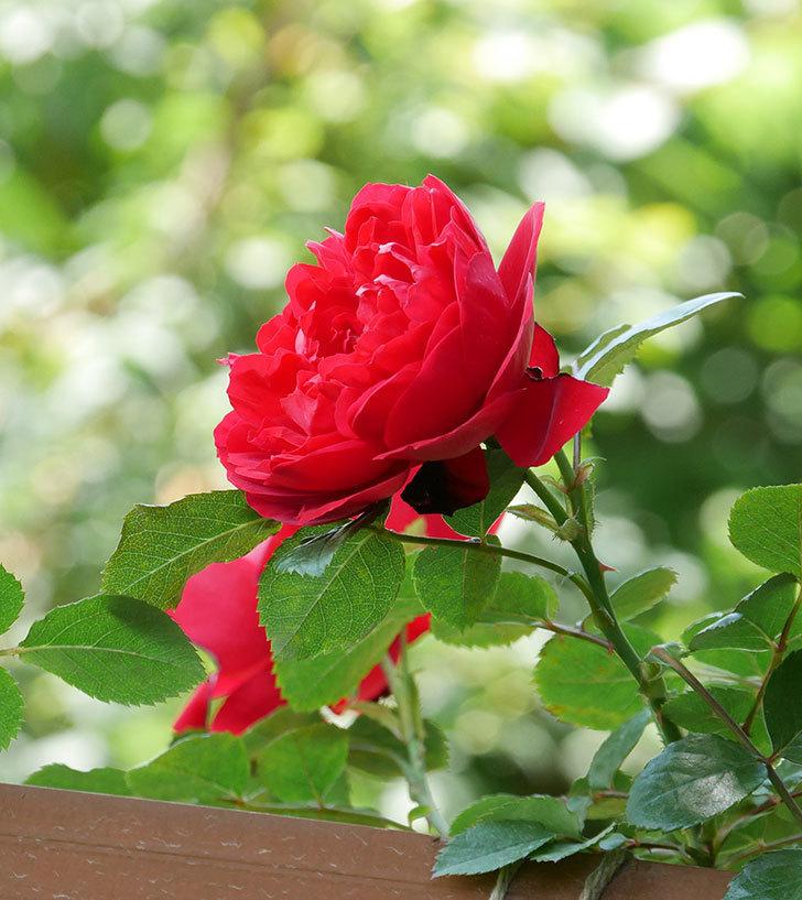 フロレンティーナ(ツルバラ)の花が更に咲いた。2019年-26.jpg