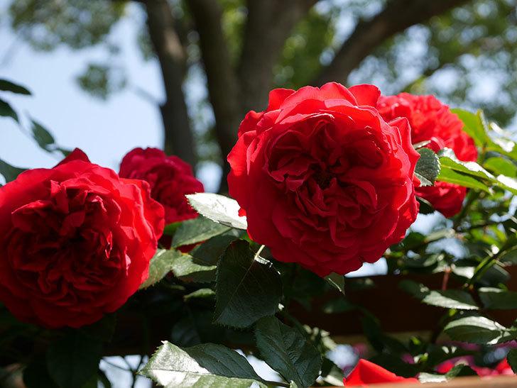 フロレンティーナ(ツルバラ)の花が更に咲いた。2019年-4.jpg