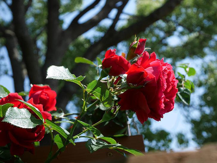 フロレンティーナ(ツルバラ)の花が更に咲いた。2019年-7.jpg