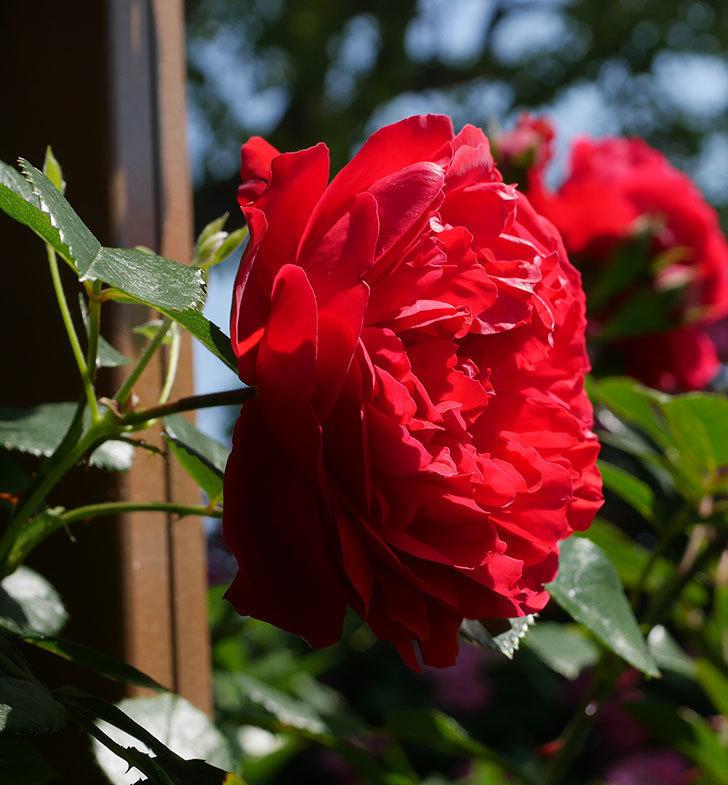 フロレンティーナ(ツルバラ)の花が更に咲いた。2019年-8.jpg