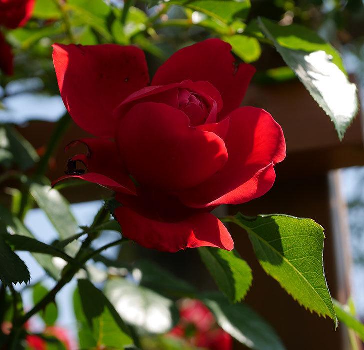 フロレンティーナ(ツルバラ)の花が更に咲いた。2019年-9.jpg