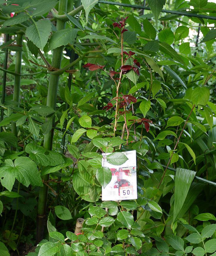 フロレンティーナ(ツルバラ)の開花株を地植えした。2016年-1.jpg