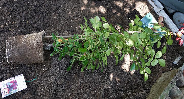フロレンティーナ(ツルバラ)の開花株を地植えした。2016年-2.jpg
