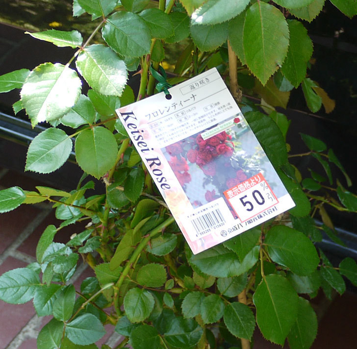 フロレンティーナ(ツルバラ)の開花株買って来た。2016年-1.jpg