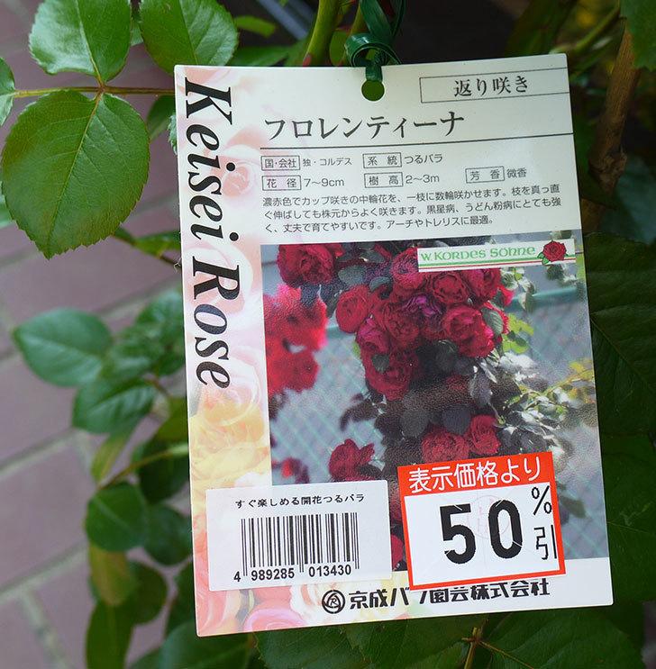 フロレンティーナ(ツルバラ)の開花株買って来た。2016年-4.jpg