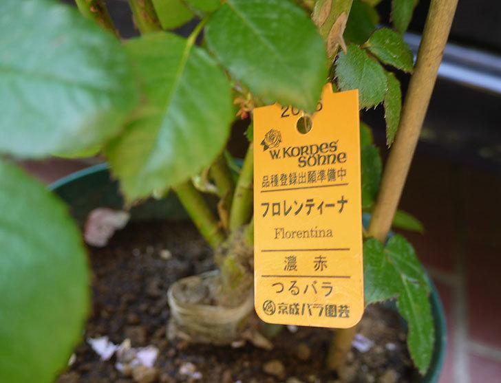 フロレンティーナ(ツルバラ)の開花株買って来た。2016年-5.jpg