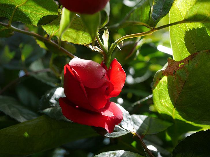 フロレンティーナ(Florentina)の花が咲いた。ツルバラ。2021年-017.jpg