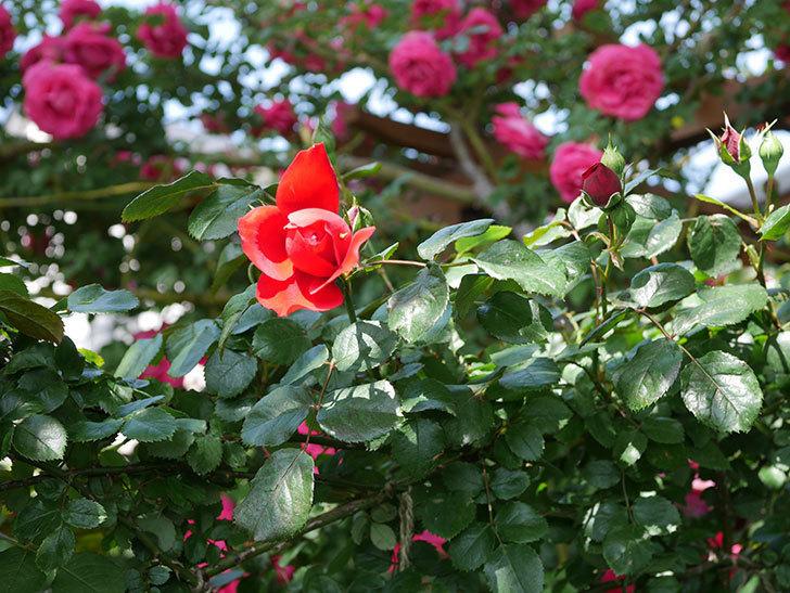 フロレンティーナ(Florentina)の花が咲いた。ツルバラ。2021年-019.jpg