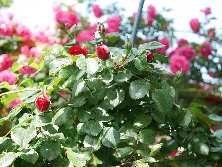 フロレンティーナ(Florentina)の花が咲いた。ツルバラ。2021年-022.jpg