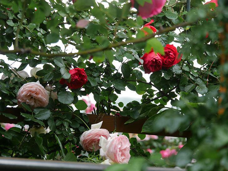 フロレンティーナ(Florentina)の花が増えてきた。ツルバラ。2021年-001.jpg
