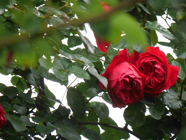 フロレンティーナ(Florentina)の花が増えてきた。ツルバラ。2021年-004.jpg
