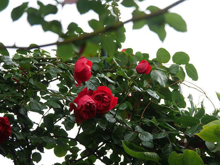 フロレンティーナ(Florentina)の花が増えてきた。ツルバラ。2021年-005.jpg