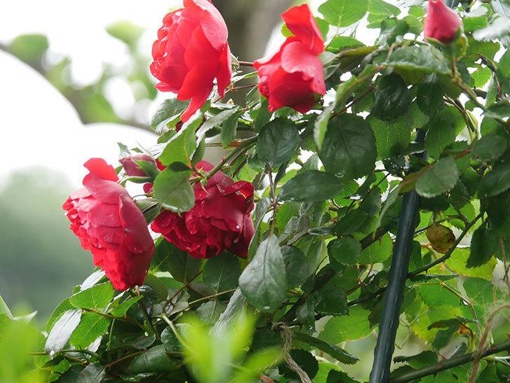 フロレンティーナ(Florentina)の花が増えてきた。ツルバラ。2021年-026.jpg