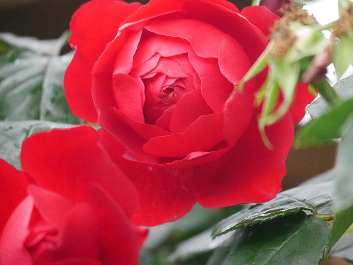 フロレンティーナ(Florentina)の花が増えてきた。ツルバラ。2021年-033.jpg