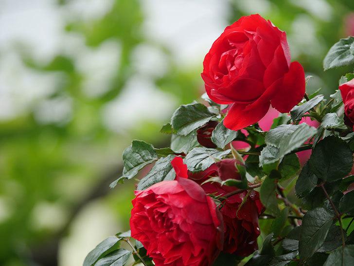 フロレンティーナ(Florentina)の花が増えてきた。ツルバラ。2021年-037.jpg