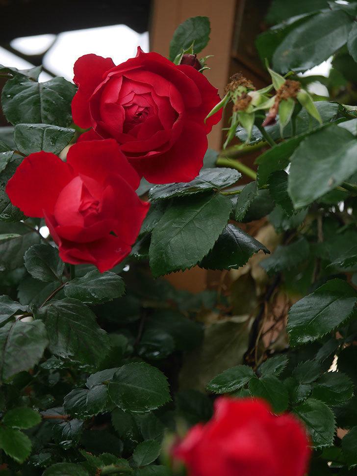 フロレンティーナ(Florentina)の花が増えてきた。ツルバラ。2021年-041.jpg