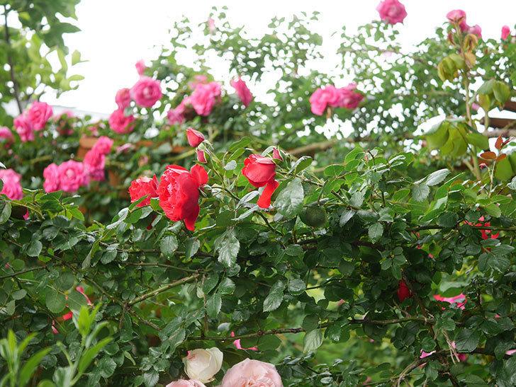 フロレンティーナ(Florentina)の花が増えてきた。ツルバラ。2021年-050.jpg