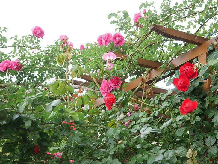フロレンティーナ(Florentina)の花が増えてきた。ツルバラ。2021年-052.jpg